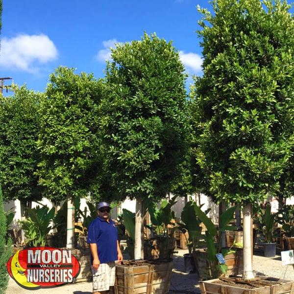 ficus nitida trees indian laurel trees