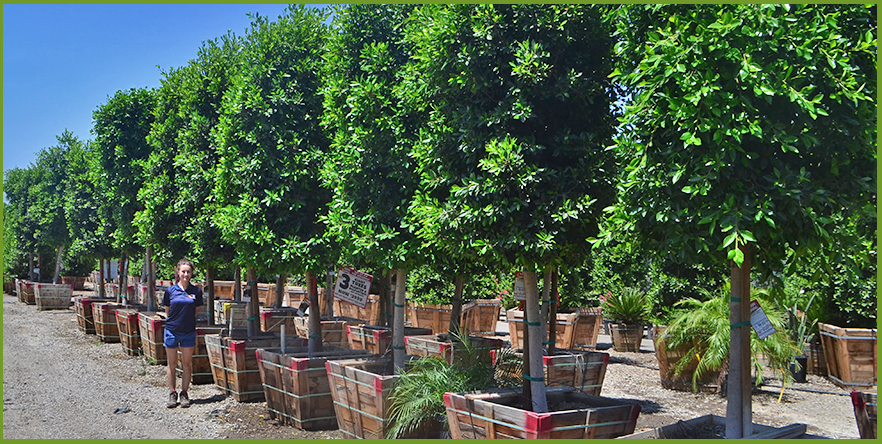 Tree Nursery Houston Thenurseries