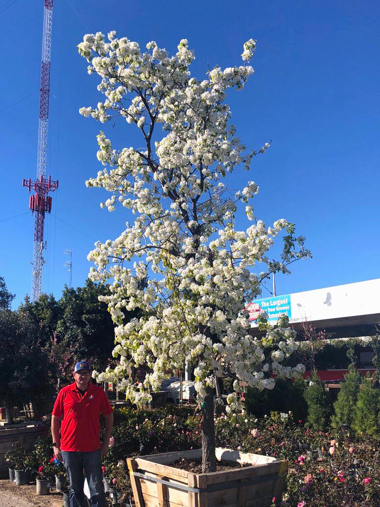 flowering_pear