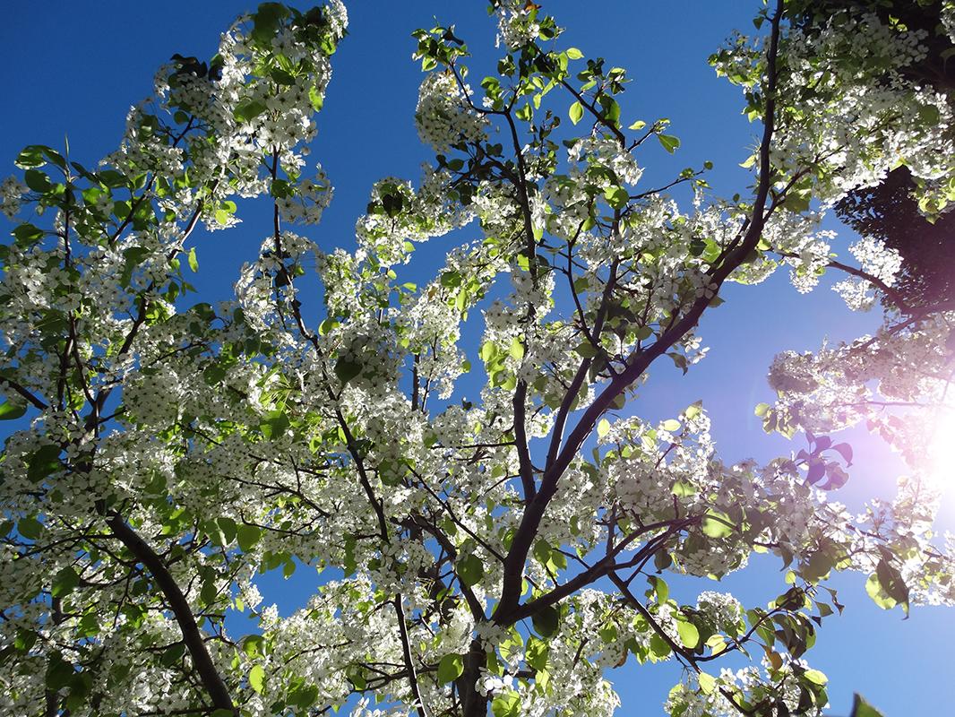 flowering_pear_foliage