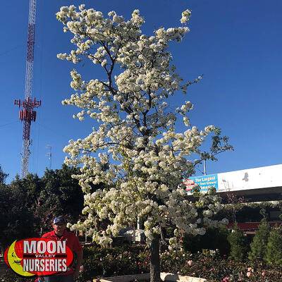 flowering pear with white flowers