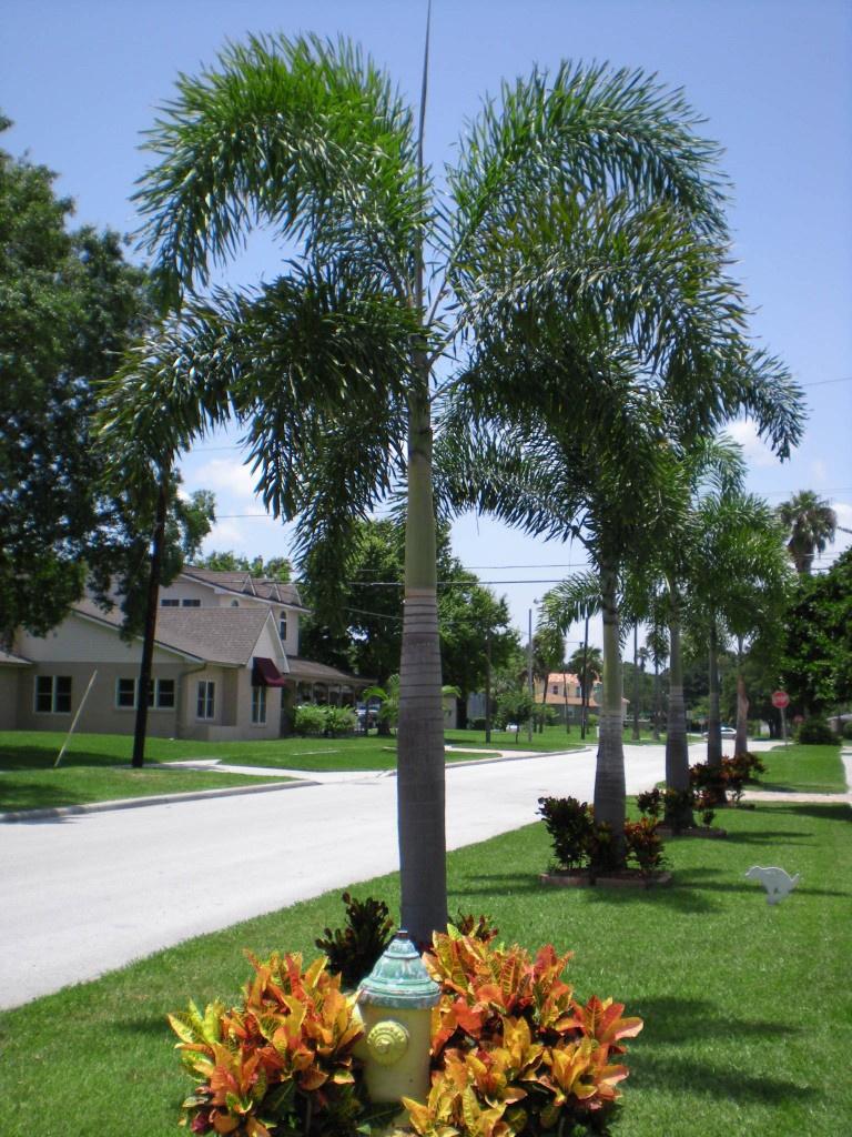 foxtail_palm