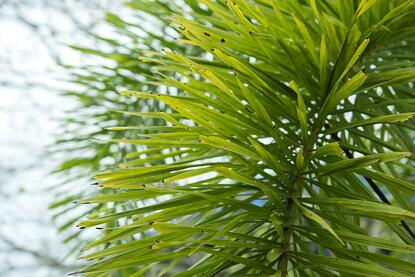 foxtail_palm_upclose