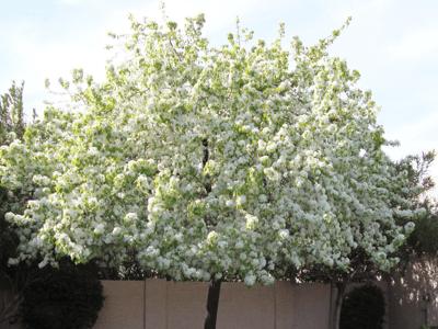 white flowers on flowering pear tree