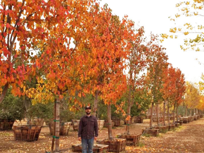 flowering pear tree with fall color at nursery