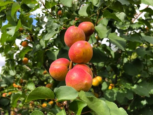 fruit_garden