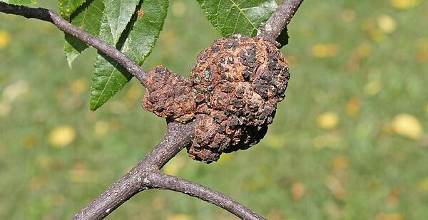 gall disease photo SAL