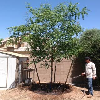 freeplanting_tipu_tree