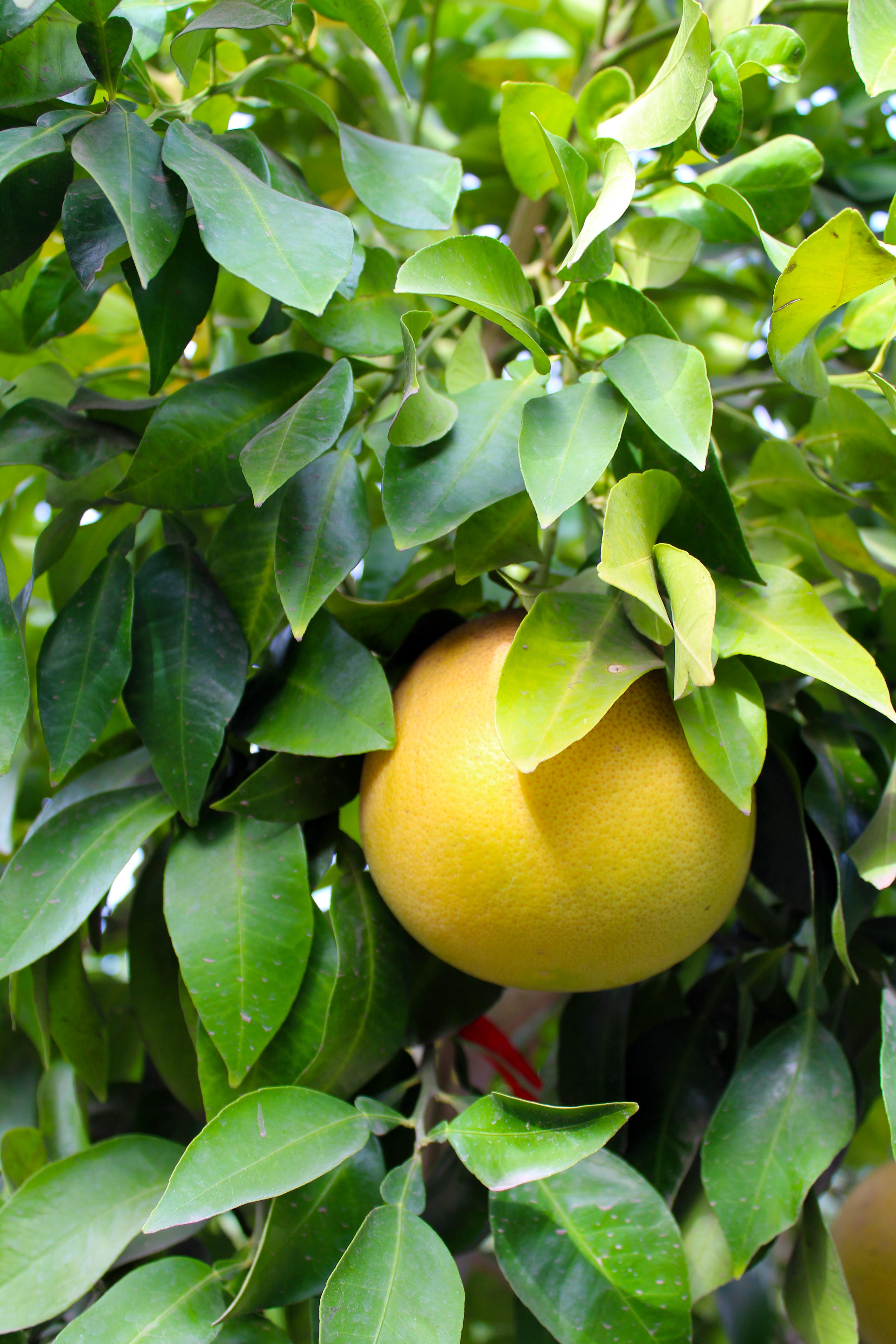 grapefruit-2.png