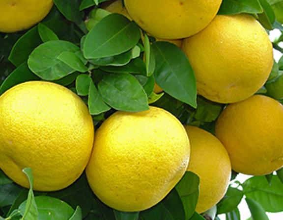 grapefruit_-1.png