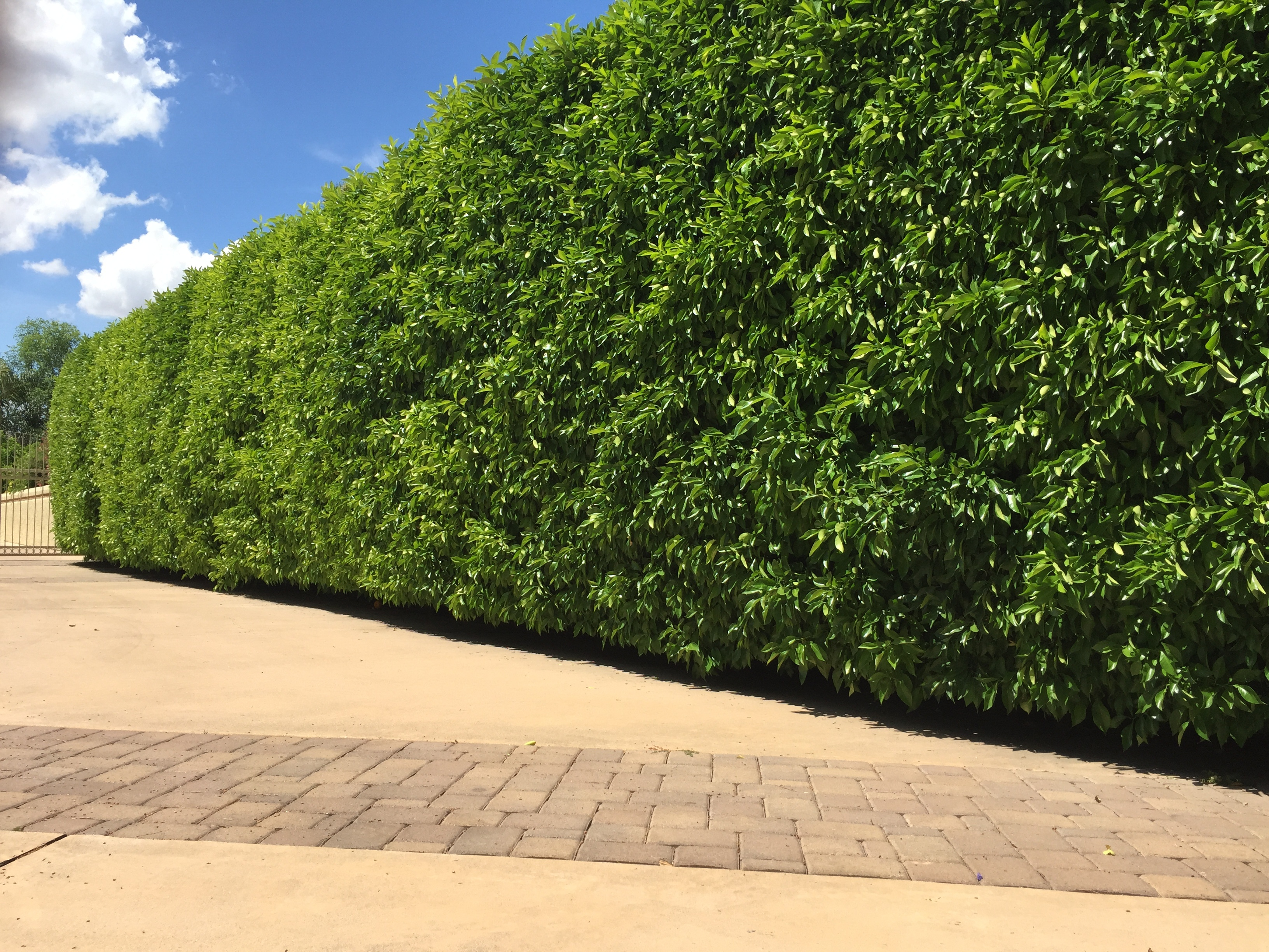 privacy_yard_ideas_hedge