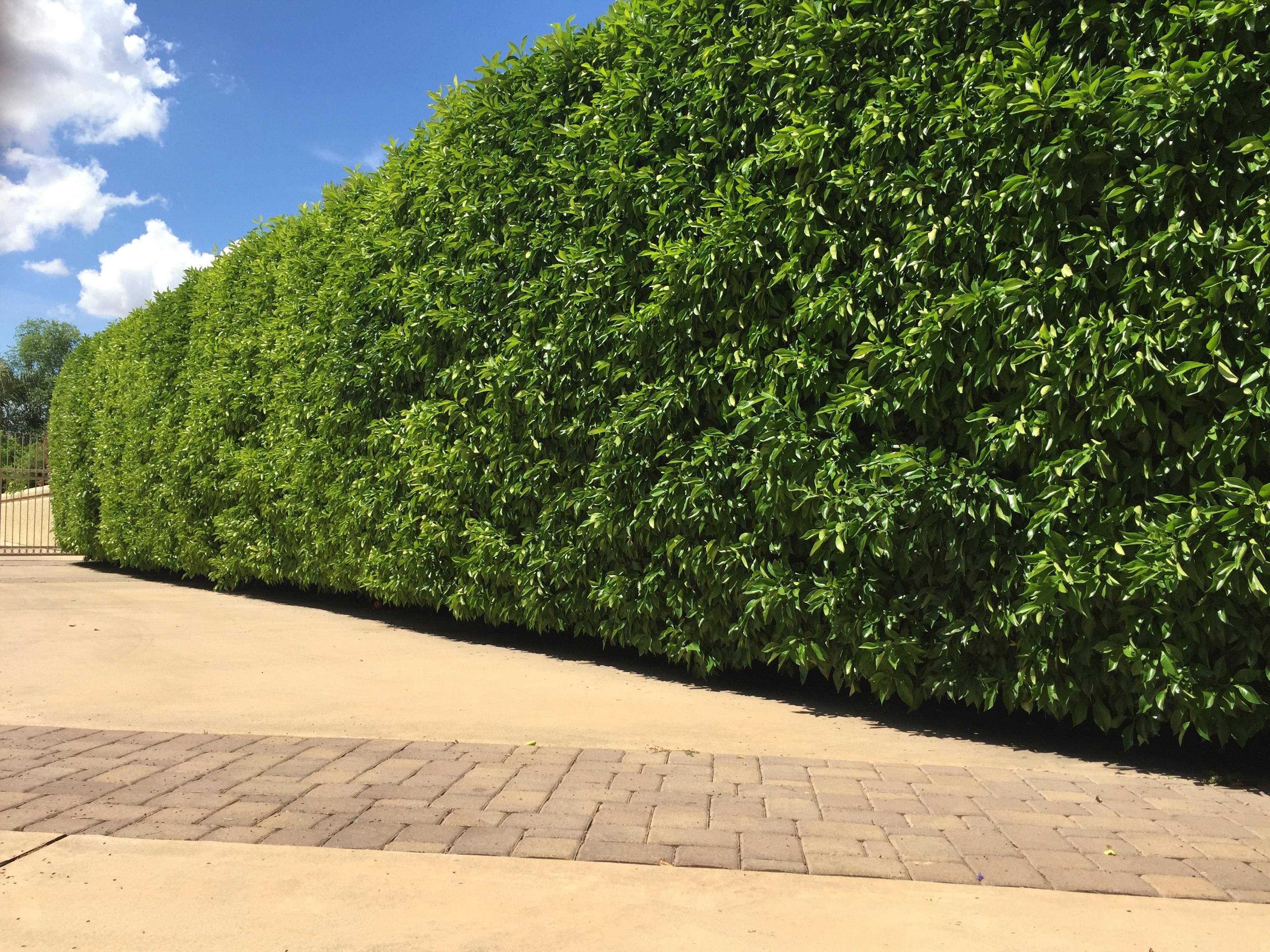privacy_yard_ideas_hedge