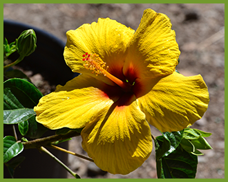 hibiscus-5.png