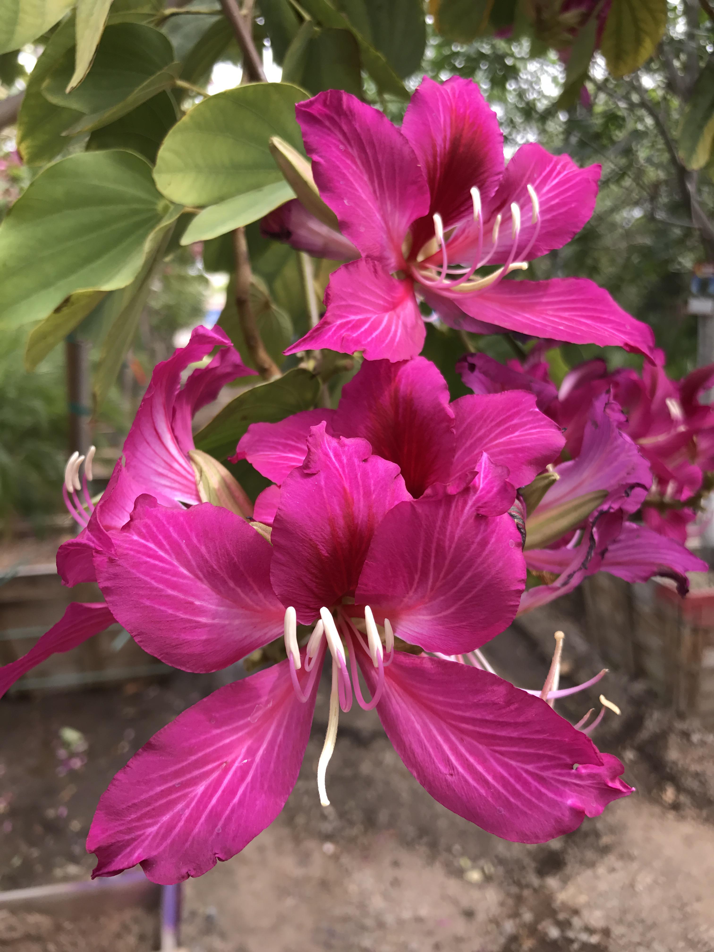 hong_kong_orchid_blooms