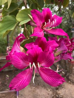 hong_kong_orchid