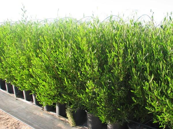 hopseed 1