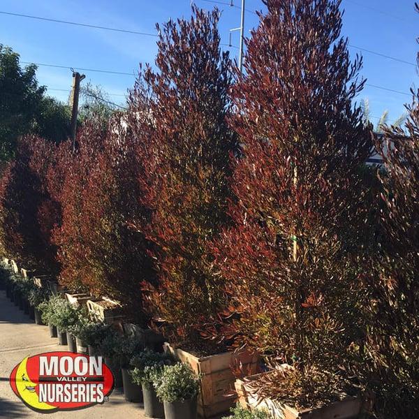 hopseed, moon valley nurseries, landscape design, tree nursery, arizona, hedges