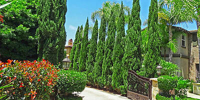 italian-cypress-hedge