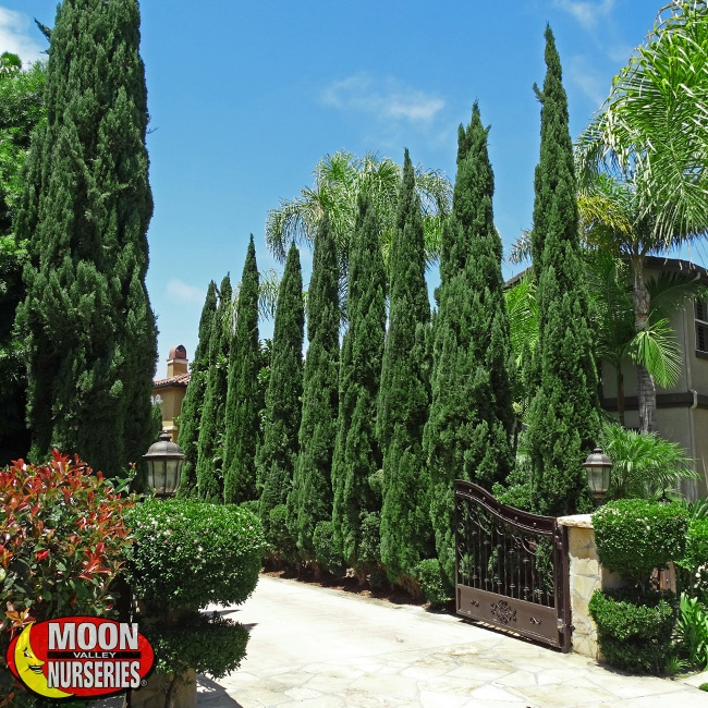 Top Hedges Of Spring To Create Private Yards In Ca