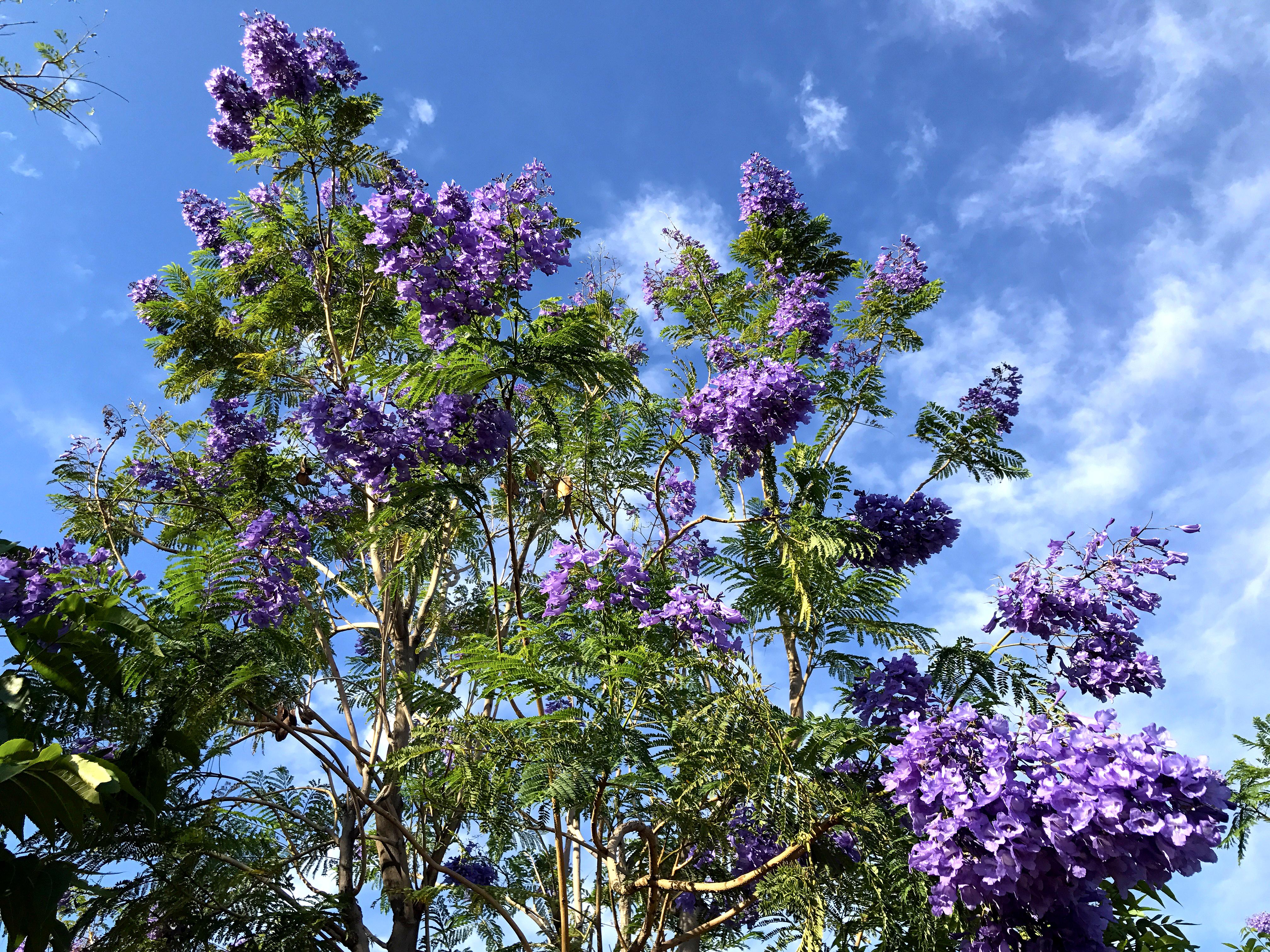jacaranda_blooms