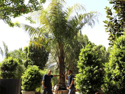 king piru palm mule palm
