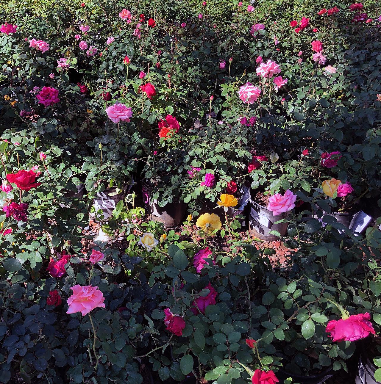 roses_landscape_shrub.png