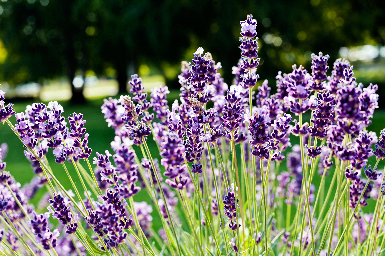 lavender_stock_image