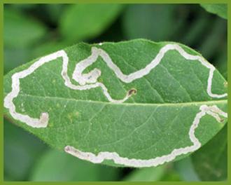leaf-miner.png
