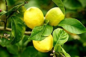 lemons-2825835_640