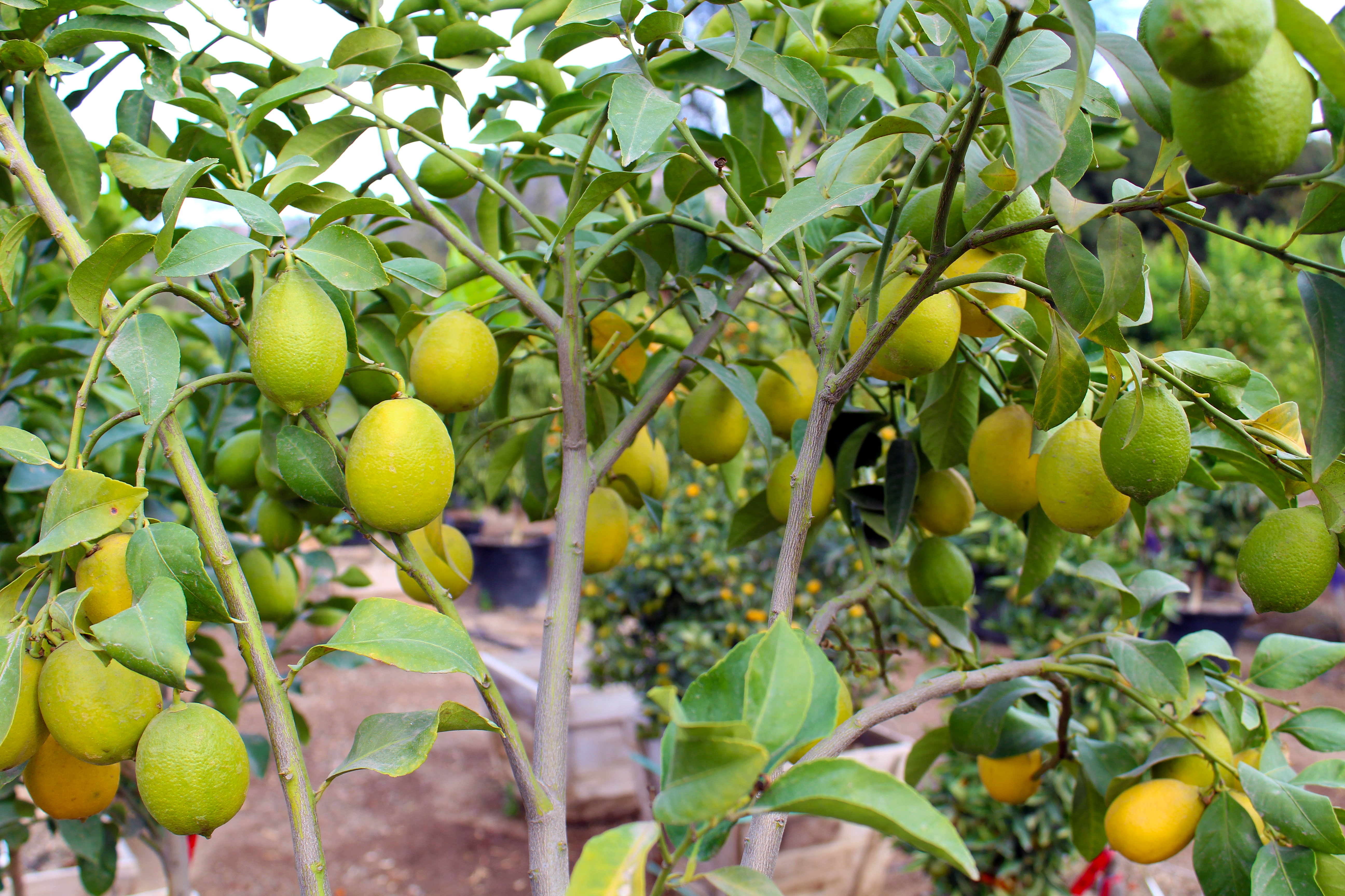 lemons_limes