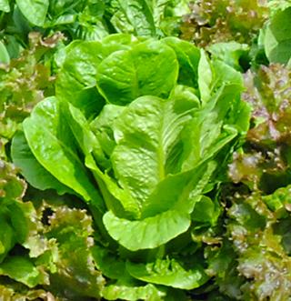 lettuce_.png