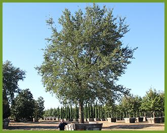 live-oak-6.png