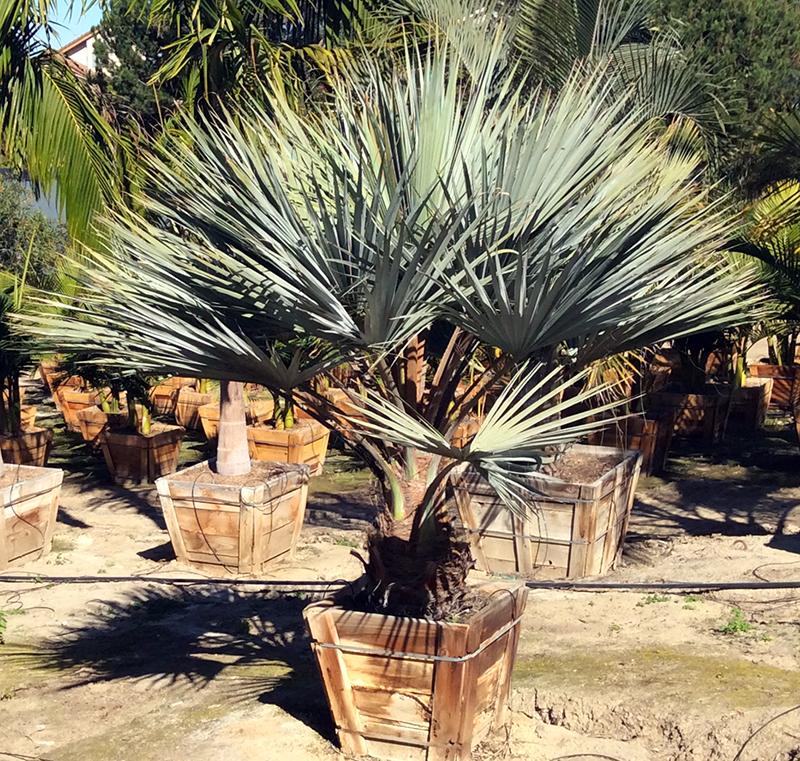 mexican_blue_palm