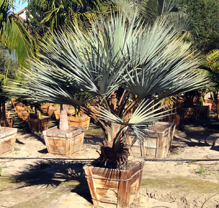 mexican_blue_palm