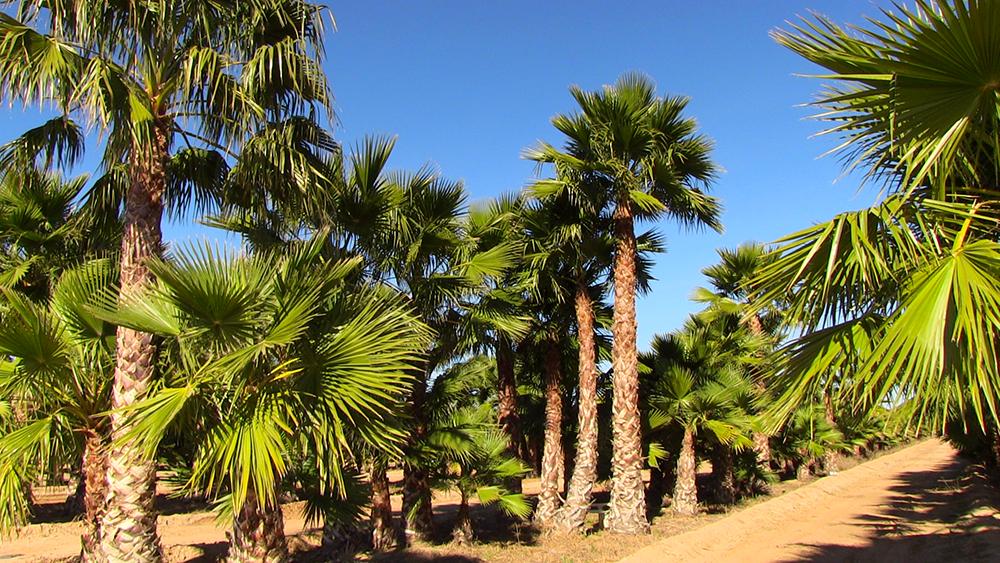 mexican_fan_palm_farm