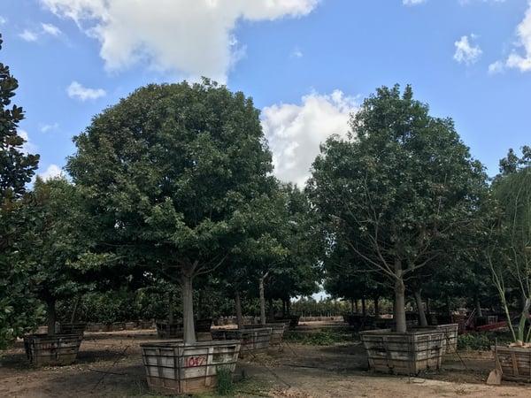 monterrey_oak-TX