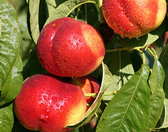 nectarines__-1.png