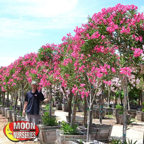 oleander,  moon valley nurseries, landscape design, tree nursery, arizona, hedges