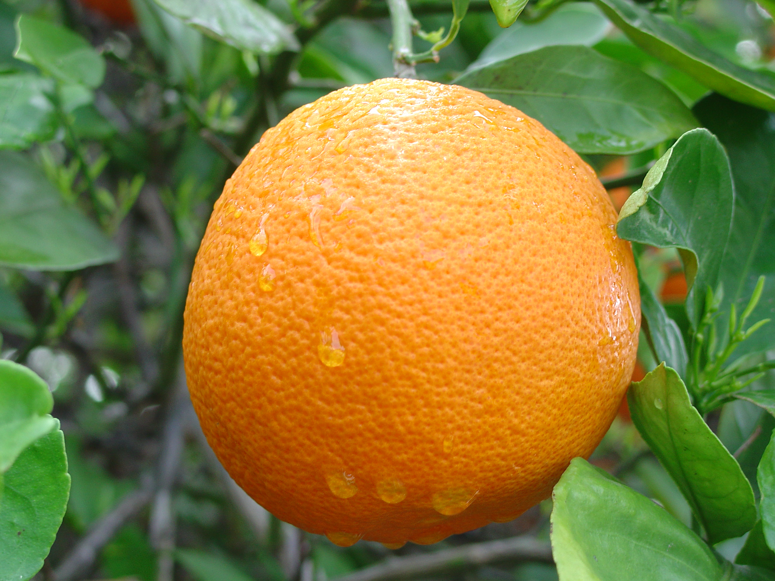 oranges-5.png