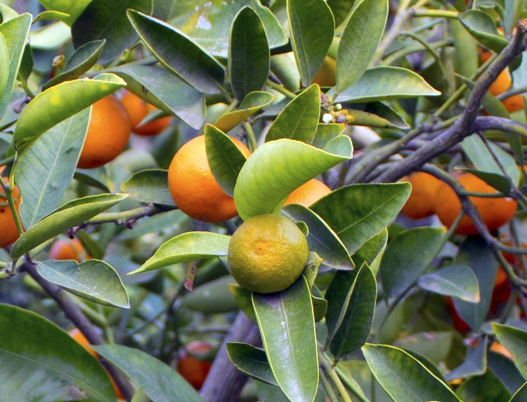 oranges_