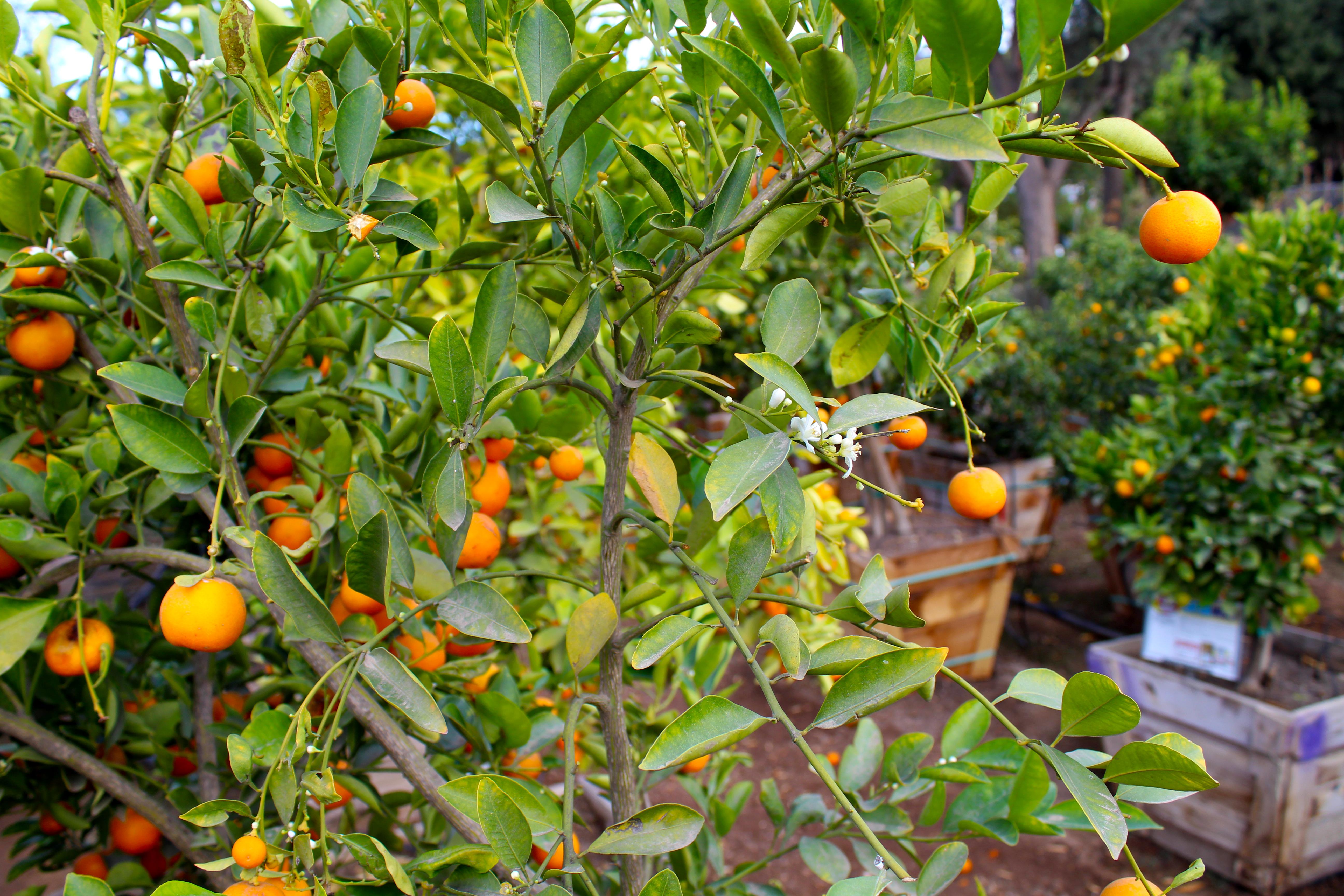 oranges_tree