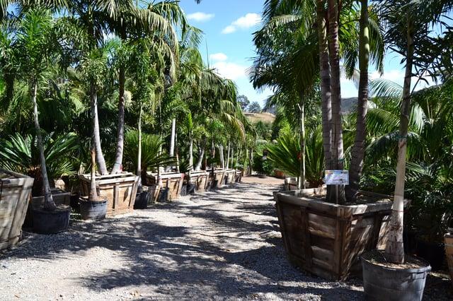 alexander_king_palms_california_palm_paradise