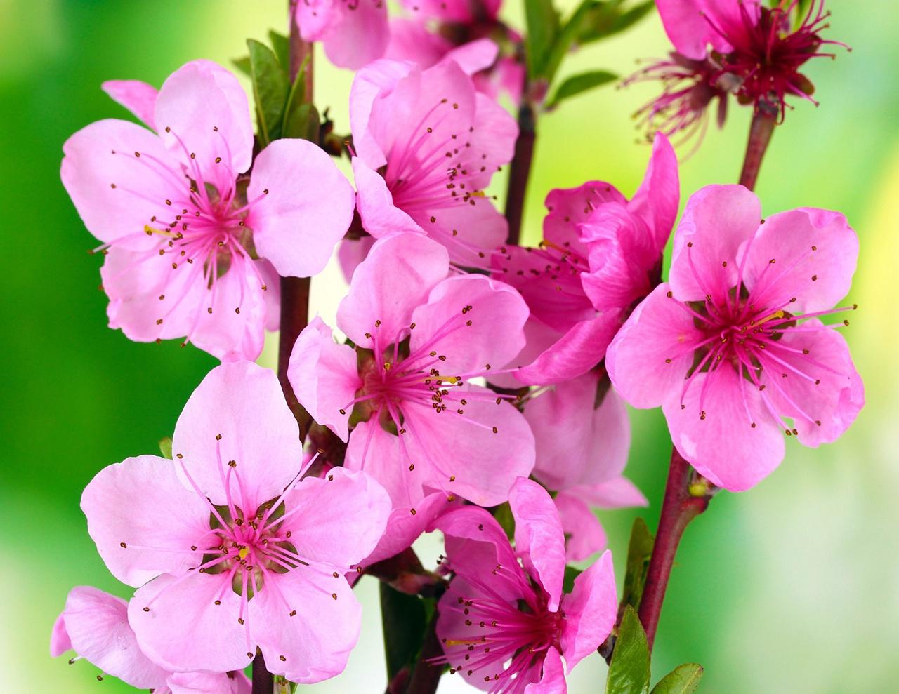 peach_tree_blossom