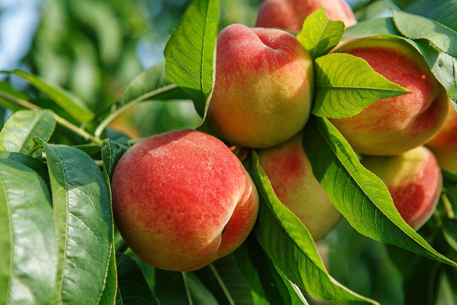 peach_trees