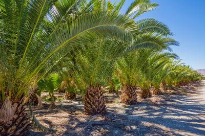 pineapple palm grow yard
