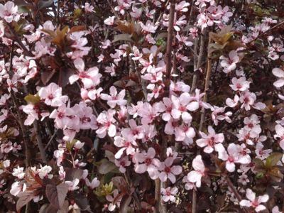 Purple Leaf Plum tree with pink flowers