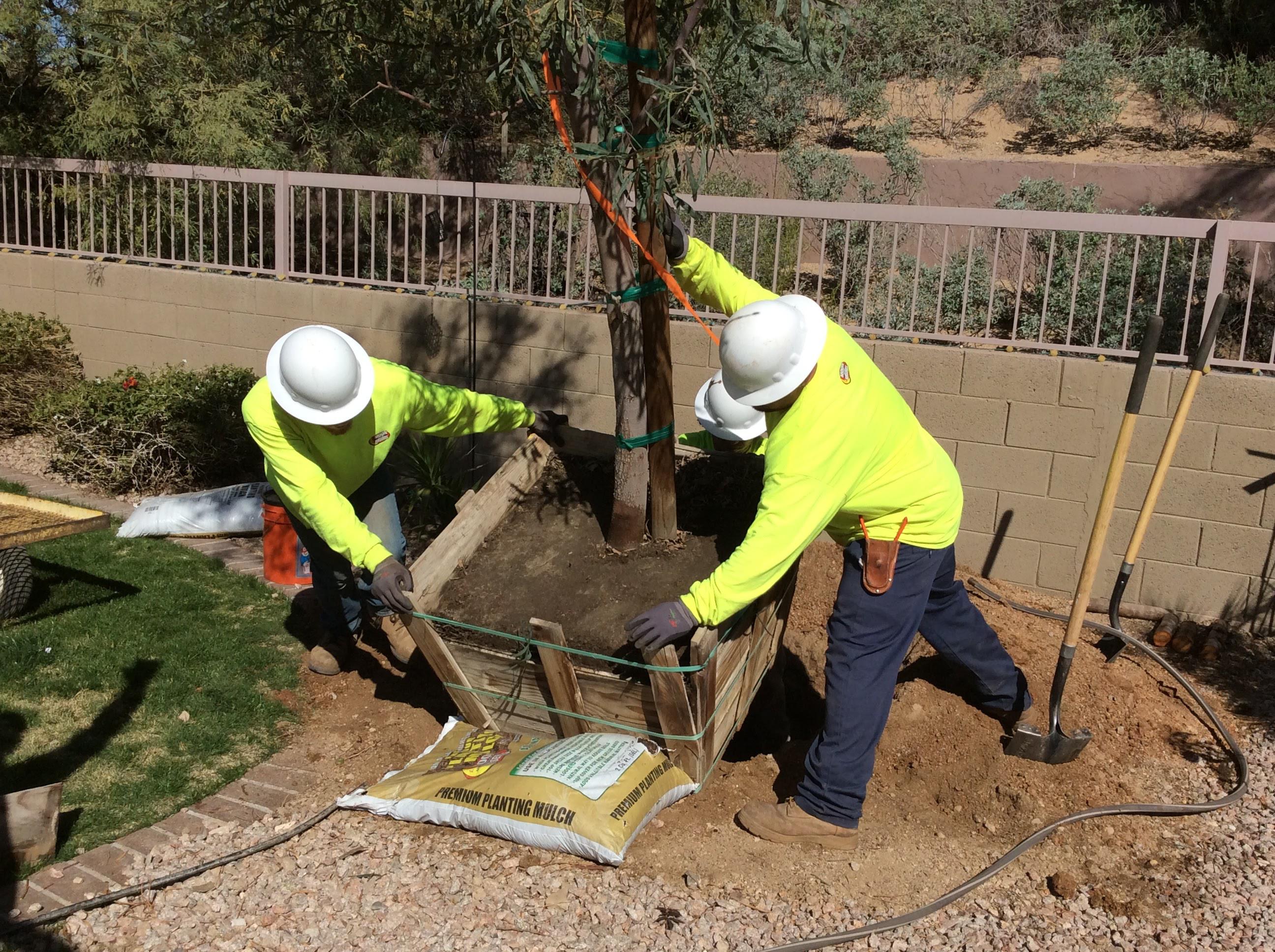 planting_acacia