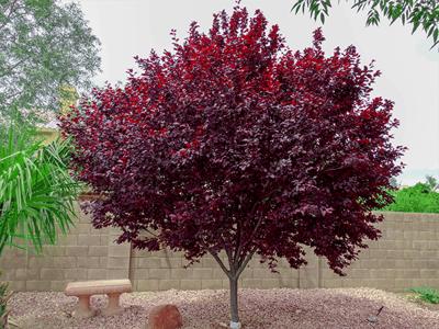 Purple Leaf Plum tree in landscape
