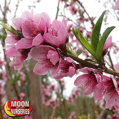 plum tree with pink flowers