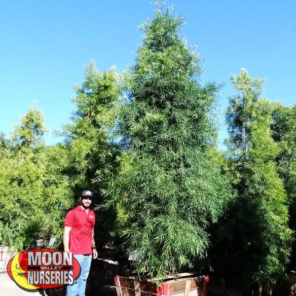 podocarpus-2